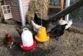 20180606 Vom Ei zum Huhn_0001